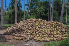 Stapel der Kokosnuss im Bauernhof für Kokosnussölindustrie Lizenzfreie Stockbilder