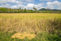 Stapel des Paddybündels nach Ernte und Getreidefeld Stockbilder
