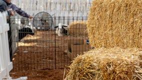 Stapel Heu an einem streichelnden Innenbauernhof stockbilder