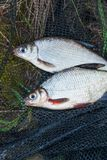 Stapel van de witte brasem of zilveren vissen en wit-oogbrasem met royalty-vrije stock foto