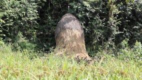 Stapel van droog gras op een vers groen gebied tegen de achtergrond van het bos stock videobeelden