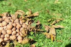 Stapel van okkernoten op de groene en droge bladeren, reeks Stock Fotografie