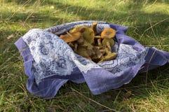Stapel van paddestoelen in een blauwe sjaal in het gras, Suillus-grevillei eetbare bospaddestoel Royalty-vrije Stock Afbeeldingen