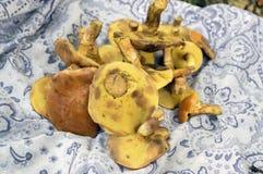 Stapel van paddestoelen in een blauwe sjaal, Suillus-grevillei eetbare bospaddestoel Stock Afbeeldingen