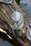 Stapel van schildpadden Stock Foto's
