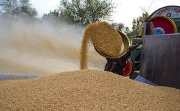 Stapel van tarwe & het oogsten tarwe Royalty-vrije Stock Afbeelding