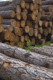 Stapel von den larchs sibirisch. Stockfotografie