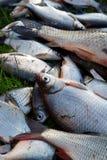 Stapel von Fischen auf Gras lizenzfreie stockbilder