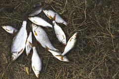 Stapel von gefangenen Hinterwellenfischen Stockbild