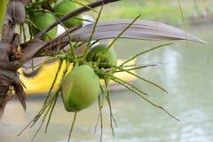 Stapel von grünen Kokosnüssen Stockbild