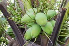 Stapel von grünen Kokosnüssen Stockfotos