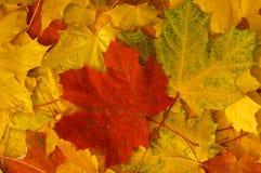 Stapel von Herbstahornblättern stockbild