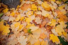 Stapel von Herbstrotahornblättern Stockbild