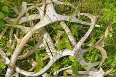 Stapel von Rengeweihen auf dem Gras Stockfoto