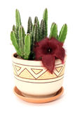 Stapelia Royalty Free Stock Photos