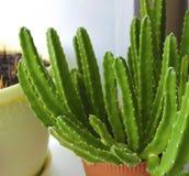 Stapelia do cacto, verde em um potenciômetro, houseplant fotos de stock royalty free