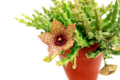 Stapelia flower Stock Photos