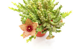Stapelia flower Stock Images
