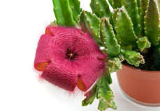 Stapelia flower Stock Photo