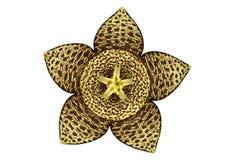 Stapelia Flower Royalty Free Stock Image