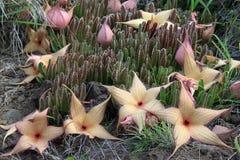 Stapelia Gigantea in bloei Royalty-vrije Stock Afbeelding