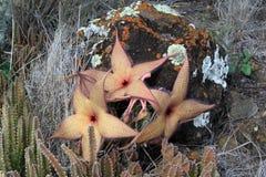 Stapelia Gigantea in der Blüte Stockbilder