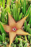 Stapelia grandiflora flower Stock Photos