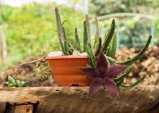 Stapelia hirsuto, en el Brasil ¡Flor de estrellas de mar del nombre o planta común de la carroña! Foto de archivo