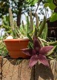 Stapelia hirsuto, en el Brasil ¡Flor de estrellas de mar del nombre o planta común de la carroña! Fotografía de archivo libre de regalías