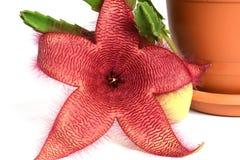 Stapelia Nobilis flower Royalty Free Stock Photography