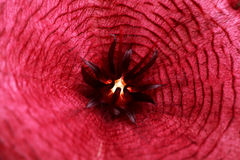 Stapelia purple flower close up Stock Photo