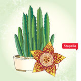 Stapelia in the round pot on the textured background. Genus of low-growing stem succulent plants. Series of different succulents vector illustration