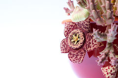 Stapelia variegata plant with spotted flowers. Stapelia variegata plant in flower in a plant pot royalty free stock photo