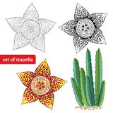 Stapelia  on white background. Genus of low-growing stem succulent plants. Series of different succulents Royalty Free Stock Photos