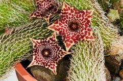 Stapelianthus pilosus Arkivbilder