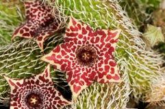 Stapelianthus pilosus Royaltyfri Fotografi