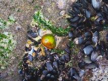 Stapels van tweekleppige schelpdieren langs en onder de klippen stock afbeeldingen