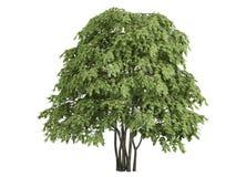 Staphylea pinnata Stock Afbeelding