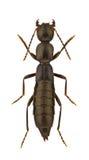 Staphylinidae. Specimen of Staphylinidae isolated on white background royalty free stock image