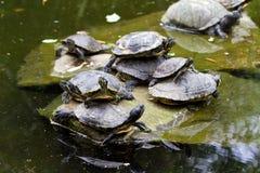Staplade sköldpaddor royaltyfria foton
