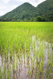 Staple food. Paddy rice field with hill as backdrop in Baling, Malaysia Stock Photo