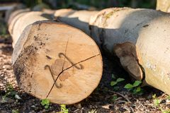 Staples a employé pour les rondins en bois Accessoires pour fixer le bois dans Photo libre de droits
