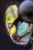 Staplungsmakro des Kopfes eines Straßenverkäufers Dragonfly Lizenzfreies Stockfoto