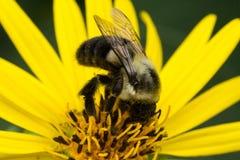 Stappla annalkande pollen för biet från gul tusensköna royaltyfri fotografi