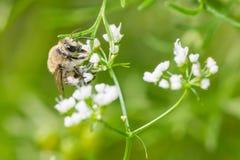 Stappla biartmatning/som pollinerar på en vit vildblomma i Minnesota arkivfoton