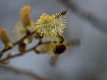 Stappla biet, BombusSp Samla Nectar On Willow Flower Arkivfoto