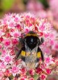 Stappla biet från närbild på blomman arkivbilder