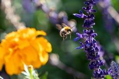 Stappla biet i flykten mellan blommor arkivfoton