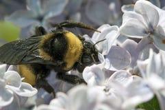 Stappla biet i lilor Fotografering för Bildbyråer