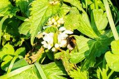 Stappla biet med dricka för vit svans som är nectrar från en vit blomma för död nässla royaltyfria foton